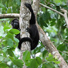 Howler Monkeys, Manzanillo, Costa Rica :