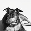 My Dog : Manchester Terrier